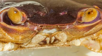 gros plan sur tête du crabe de sable