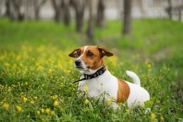 Jack russell terrier dog walking outdoors. Springtime.