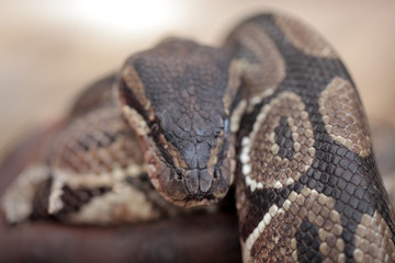 animal detail - close up macro photography of a python snake head with big eyes, outdoors in Africa with natural sunlight