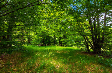 deep ancient beech forest glade. beautiful summer scenery