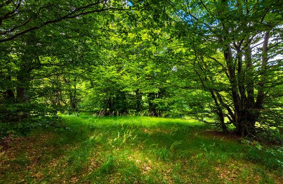 deep ancient beech forest glade. beautiful summer scenery