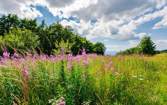 meadow with fireweed near the beech forest. beautiful summer scenery on a warm and cloudy day. lovely purple flowers in bright sunlight