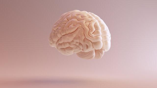 Human brain Anatomical Model 3d illustration 3Q Rear Left