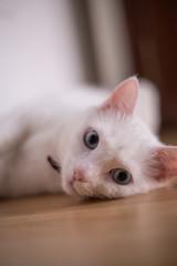 portrait of white cat lying on the floor