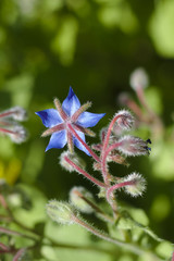 Borage blossom in the sunlight in macro view