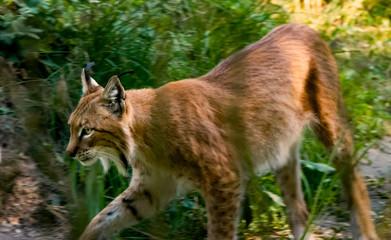 walking lynx 2