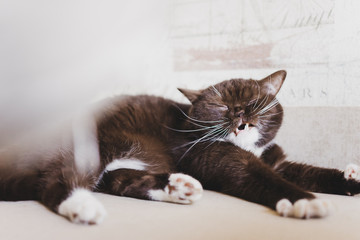 British cat woke up and just lying on the couch