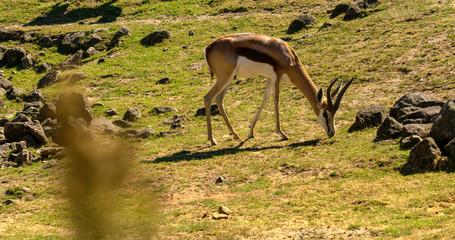 springbok eating