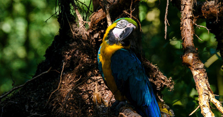 macaw parrot in the forest