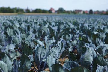 Large cabbage field with less depth of field and a small town in the background