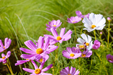 Cosmos flowers in meadow with morning sunlight