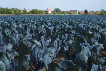 Large cabbage field with some houses and trees in the background