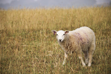Sheep in long grass