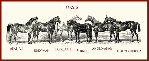 vintage equestrian illustration, horse purebred portraits: Arabian, Turkoman, Karabakh, Berber, Anglo-Arab, English thoroughbred,