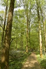 Chemin sous les feuillages des hêtres au printemps à la forêt du Hallerbos près de Halle