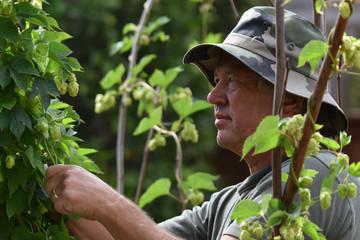 Hops Man Harvesting