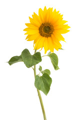 Papiers peints Tournesol sunflower isolated