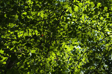 Leafs of a forest with sunlight from the back