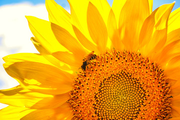 yellow sunflower and a bee on a sunflower