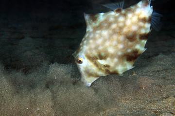 Humpback Turretfish (Tetrosomus gibbosus) Stirring up Bottom Sand in Search for Food. Anilao, Philippines