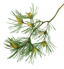 Pine branches with cones. Isolated without a shadow. Close-up. New Year. Decor.