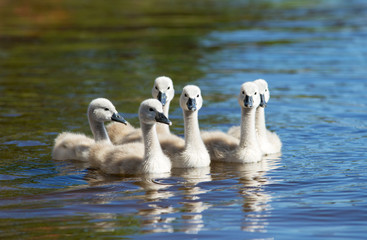 Small, fluffy swans swimming on the blue lake water