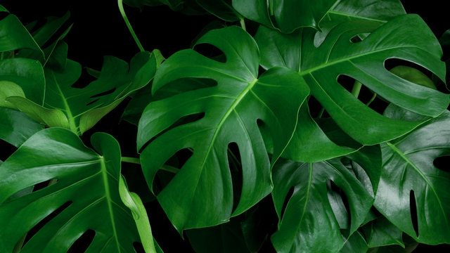 Green tropical leaves Monstera ornamental plant jungle evergreen vine on black background