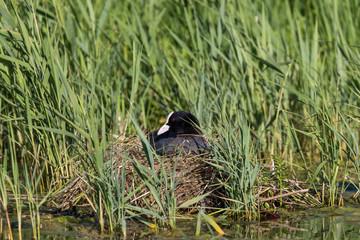 breeding Eurasian coot (Fulica atra) sitting on nest