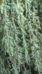 background of coniferous branches