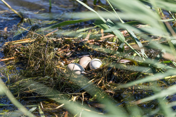 nest of a great crested grebe (Podiceps cristatus) with 3 eggs