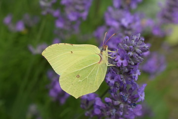 Yellow butterfly enjoying flower nectar