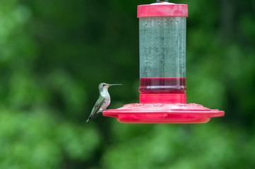 A pretty green hummingbird poses on the side of the red feeder in a Missouri backyard. A defocused background has a nice effect.