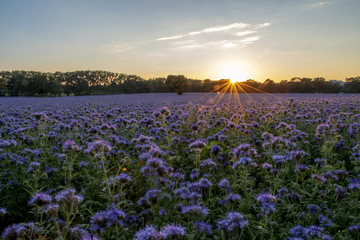 panorama sunset over a field of scorpionweed