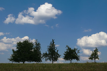 Trees in agriculture environment with a blue sky and white clouds in the background