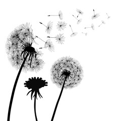 Abstract black Dandelions, dandelion with flying seeds – vector