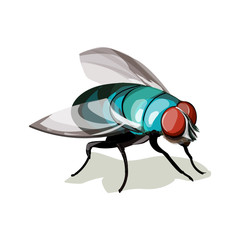 Vector illustration realistic Fly Diptera. Colorful domestic fly.