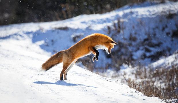 Red Fox, Canada