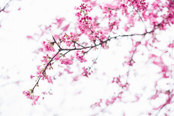 Sakura blossom in winter