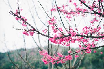 Sakura blossom in winter