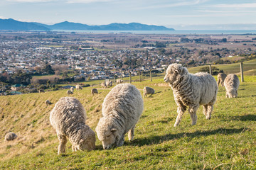 flock of merino sheep grazing on farmland above Blenheim town in New Zealand