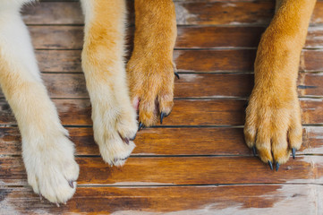 Dog's feet on wooden floor