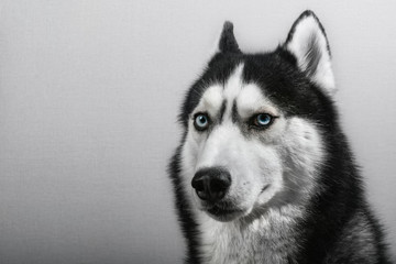 Siberian husky dog isolated on gray. Portrait confused funny sled-dog with blue eyes.