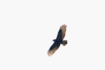 Buzzard flying in front of a white sky