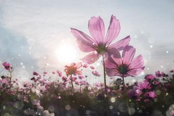 Cosmos flower with bokeh at sunrise morning.
