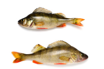 River perch on a white background, freshwater fish.