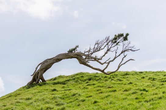Windswept tree permenantly bent by the prevailing winds on a grassy hilltop in the Chatham Islands, New Zealand.