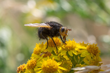 Tachina grossa fly nectaring. The largest European tachinid, in the family Tachinidae, with hairy black thorax and abdomen