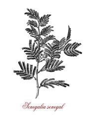 Vintage engraving of acacia senegal or gum acacia (senegalia senegal) , source of the best quality gum arabic or hashab gum.Used as food additive and in cosmetics.