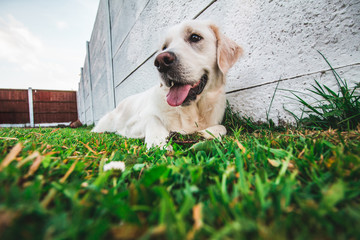 A young purebred white Golden Retriever laying on the grass with her tongue out