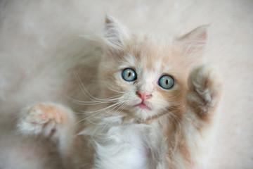 Cute little blue eyes cat Lying up on the fur floor
